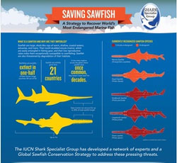 sawfish infographic